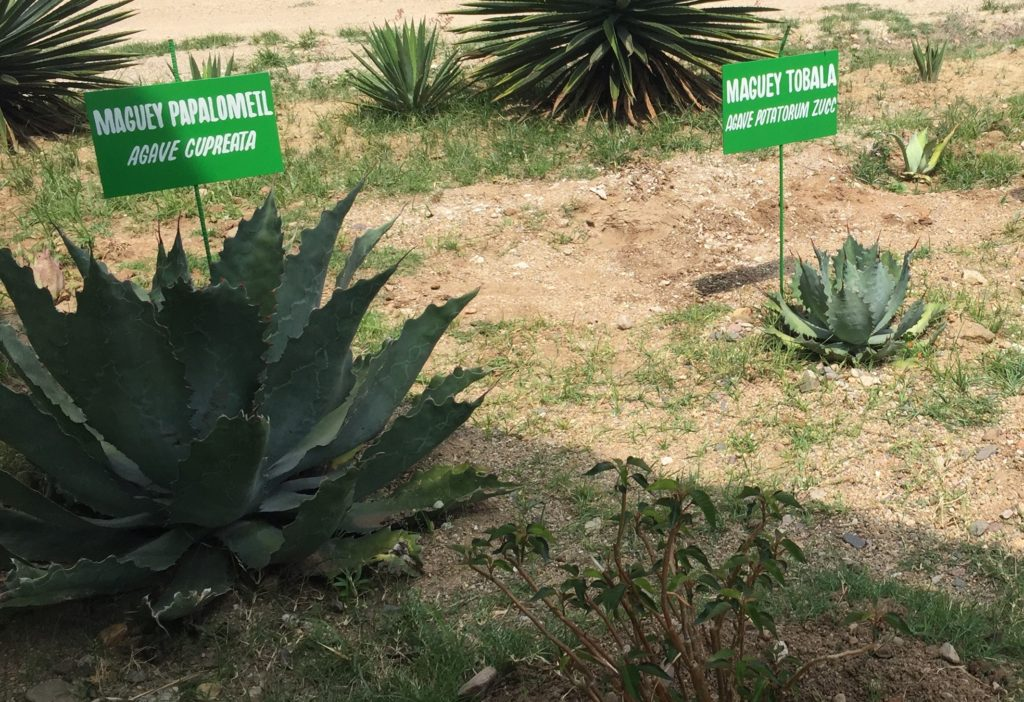 Agave Cupreata and Agave Tobala at Mezcal Real Minero agave nursery