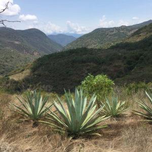 Cinco Sentidos Agave Sierra Norte