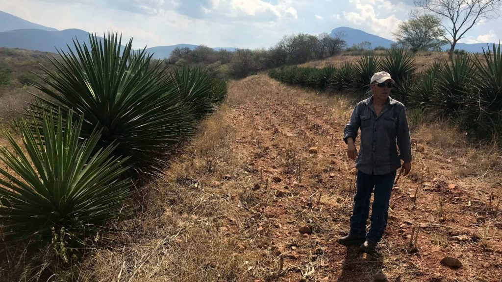 Juan Pacheco and agave Sanmartin in Ejutla, Oaxaca, Mexico