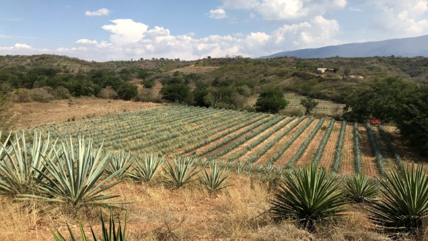 Agaves for mezcal growing in Ejutla, Oaxaca