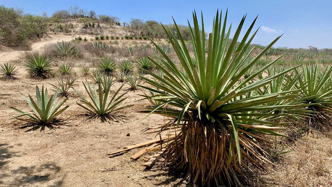 Viejo Indecente agave field
