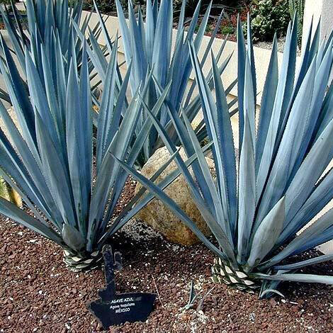 Agave Azul Tequilana Maguey Mezcal