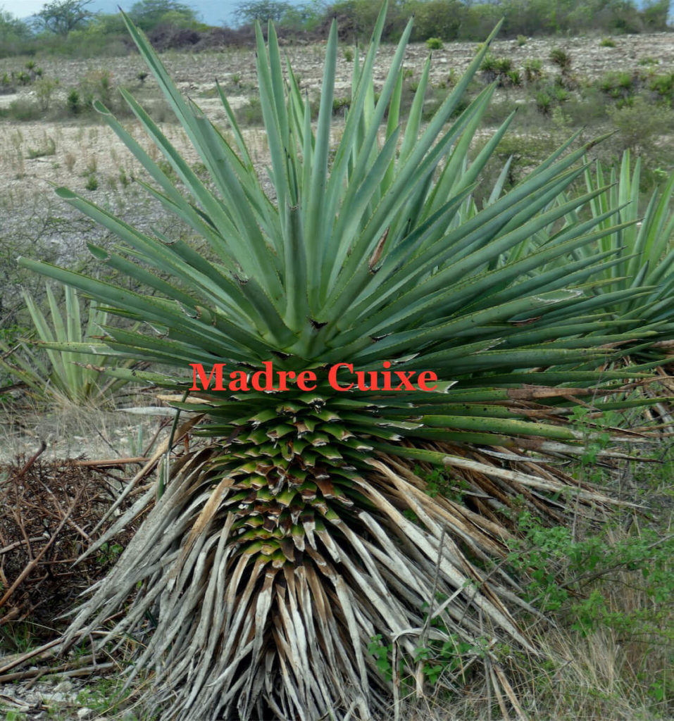 Agave Madrecuixe Madrecuishe Maguey Mezcal